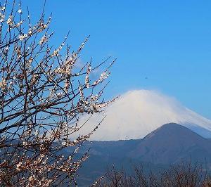 小田原曽我梅林 中河原会場と瑞雲寺の梅と富士山がキレイ