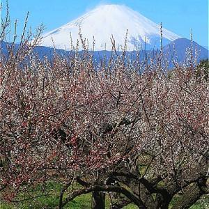 小田原曽我梅林 別所会場の枝垂れ梅と富士山がキレイ