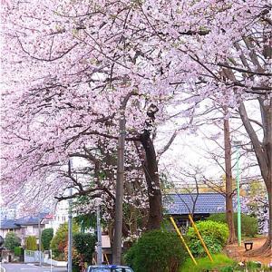 近所の公園の桜がキレイ