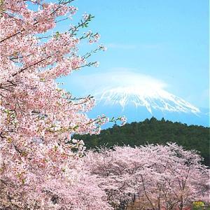静岡富士市 岩本山公園の桜がキレイ