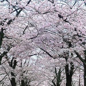 静岡富士宮市 大石寺の桜がキレイ