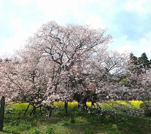 静岡富士宮市 狩宿の下馬桜がすばらしい
