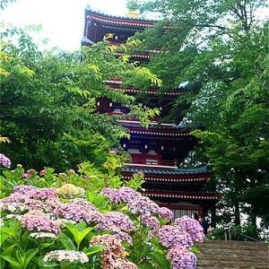 松戸市 本土寺のあじさいがキレイ