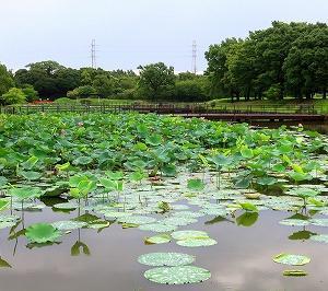 葛飾区 水元公園の蓮がキレイ