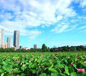 上野不忍池の蓮がキレイ