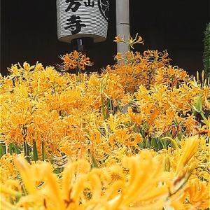 横浜新羽 西方寺の曼殊沙華がキレイ