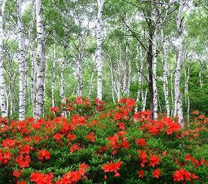 長野 八千穂高原の日本一の白樺とレンゲツツジがすばらしい