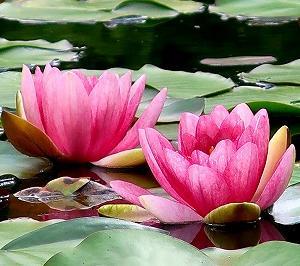 日光市 上三依水生植物園の睡蓮がキレイ