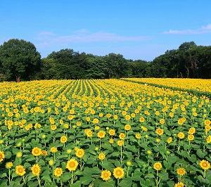 栃木 上三川ひまわり畑のひまわりがキレイ