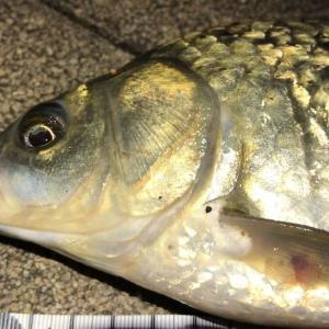 ヘラブナ へらぶな 釣り 夜釣り 埼玉 川越 用水路