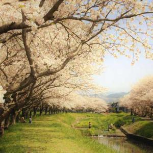 筑紫野桜街道