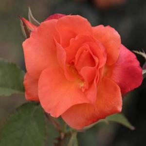 そこはやっぱり薔薇でしょう (三)