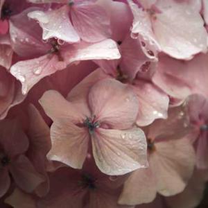 紫陽花の雨だれ