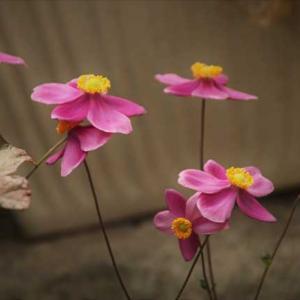 秋庭花は色濃いわ