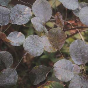シブメの秋