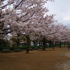 🌸文理台公園の桜🌸