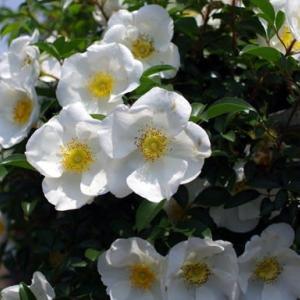 🌼白いバラ