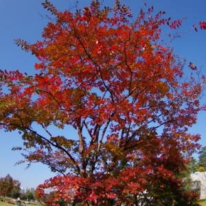 夏椿の紅葉