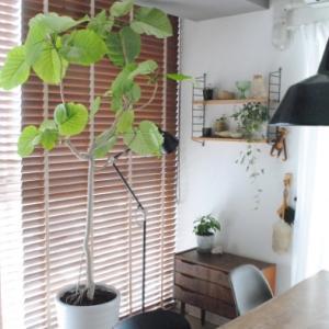 観葉植物を植え替える * ウンベラータ・アジアンタム・がじゅまる