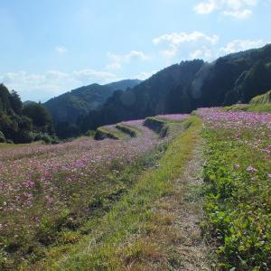 棚田の秋桜