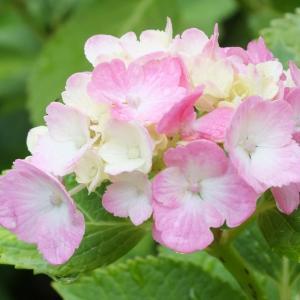 紫陽花~白猪の滝花菖蒲園~2