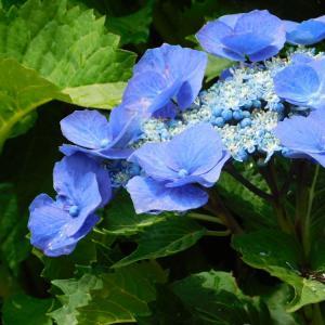 青いガクアジサイ~ゆらぎの森~