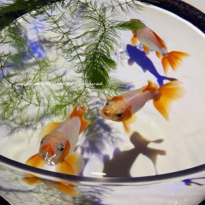 アートアクアリウム2019~江戸・金魚の涼~