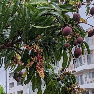裏庭にマンゴーが…