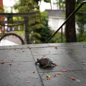 コロナ後遺症との闘い日誌(発症446日目)世田谷八幡宮で亀に会う