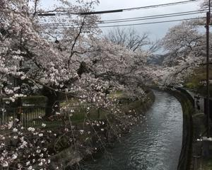 琵琶湖疏水の桜。