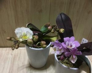 マイクロ胡蝶蘭の花開く。