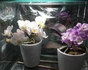 マイクロ胡蝶蘭、満開。