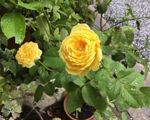 小さめのバラ。