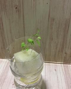 サラダ京水菜の水耕栽培。