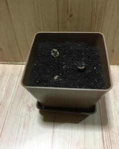 コーヒーの生豆、植えてます。