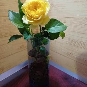 黄色いバラが咲きました。