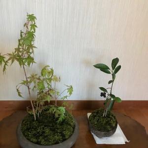 初めての盆栽