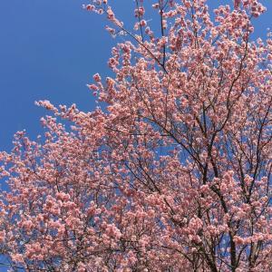 須崎桑田山の雪割桜