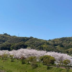 枝川公園の桜