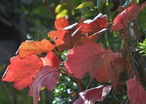 12月の庭2019・・・カシワバアジサイの葉