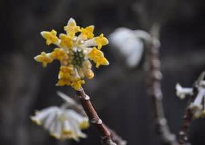 ミツマタの花が一輪・・・