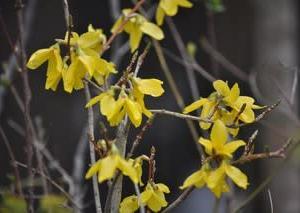 庭の花・・・レンギョウ
