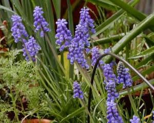 庭の花4月・・・ムスカリ