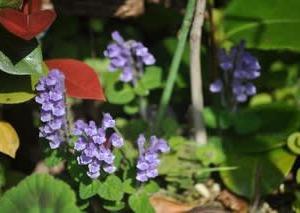 庭の花5月・・・タツナミソウ