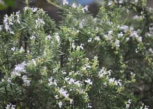 庭の花7月・・・ローズマリー