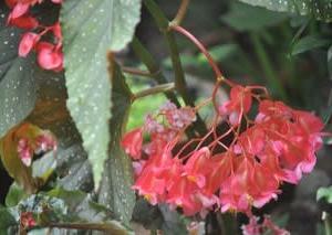 庭の花8月・・・木立性ベゴニア