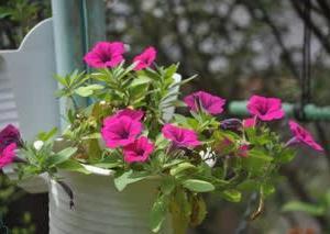 庭の花8月・・・サフィニア