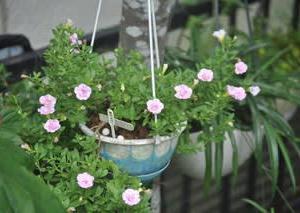 庭の花8月・・・カリブラコア
