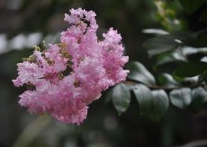 庭の花8月・・・サルスベリ
