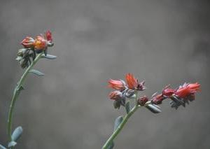 多肉植物の花・・・トップスプレンダー